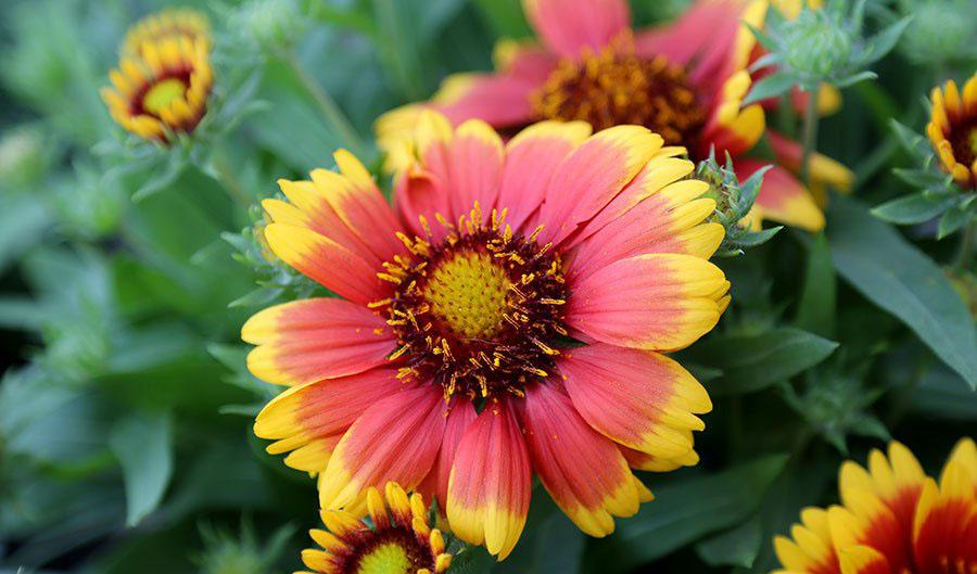 Perennial of the week arizona sun gaillardia damblys garden center perennial of the week arizona sun gaillardia mightylinksfo