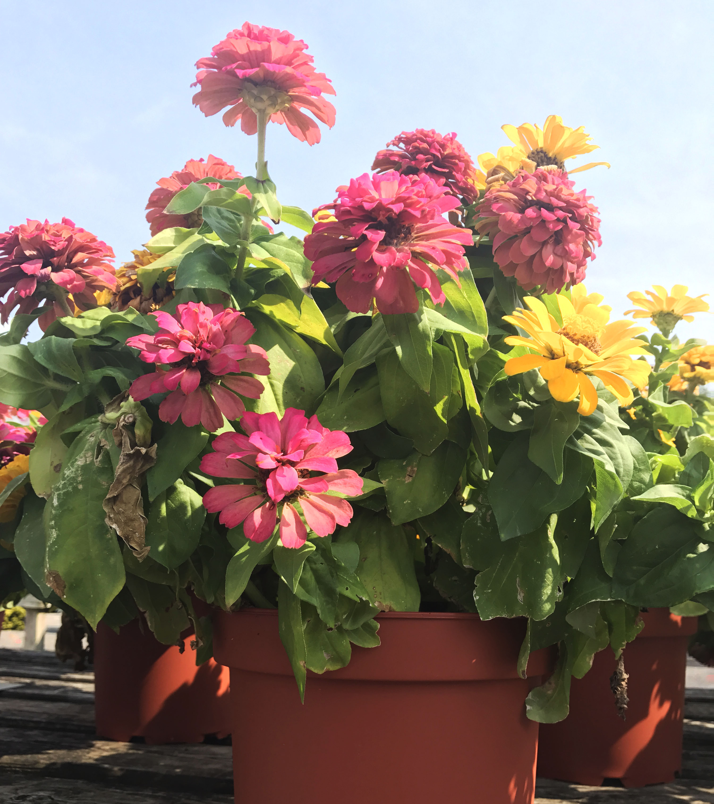 Zinnia: The Potted Summer Annual - Dambly's Garden Center on aster plants, pentas plants, dahlia plants, verbena plants, rose plants, lantana plants, hibiscus plants, tulip plants, calendula plants, geranium plants, honeysuckle plants, salvia plants, nasturtium plants, yucca plants, garden plants, sweet pea plants, cosmos plants, peruvian lily plants, dill plants, begonia plants,