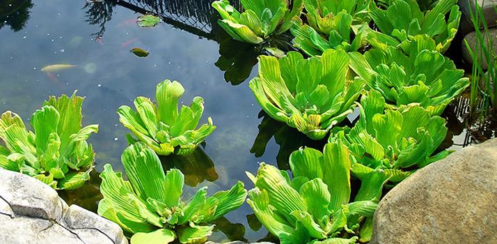 Floating-Pond-Plants